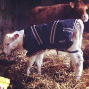 Wee white calf